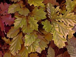 Young Oak leaf
