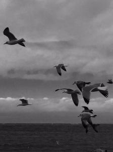 Vermin seagulls