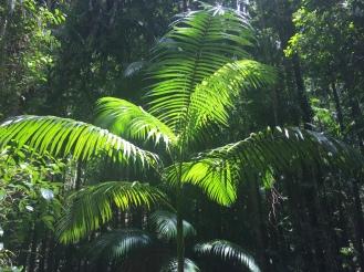 fraser-island-ferns