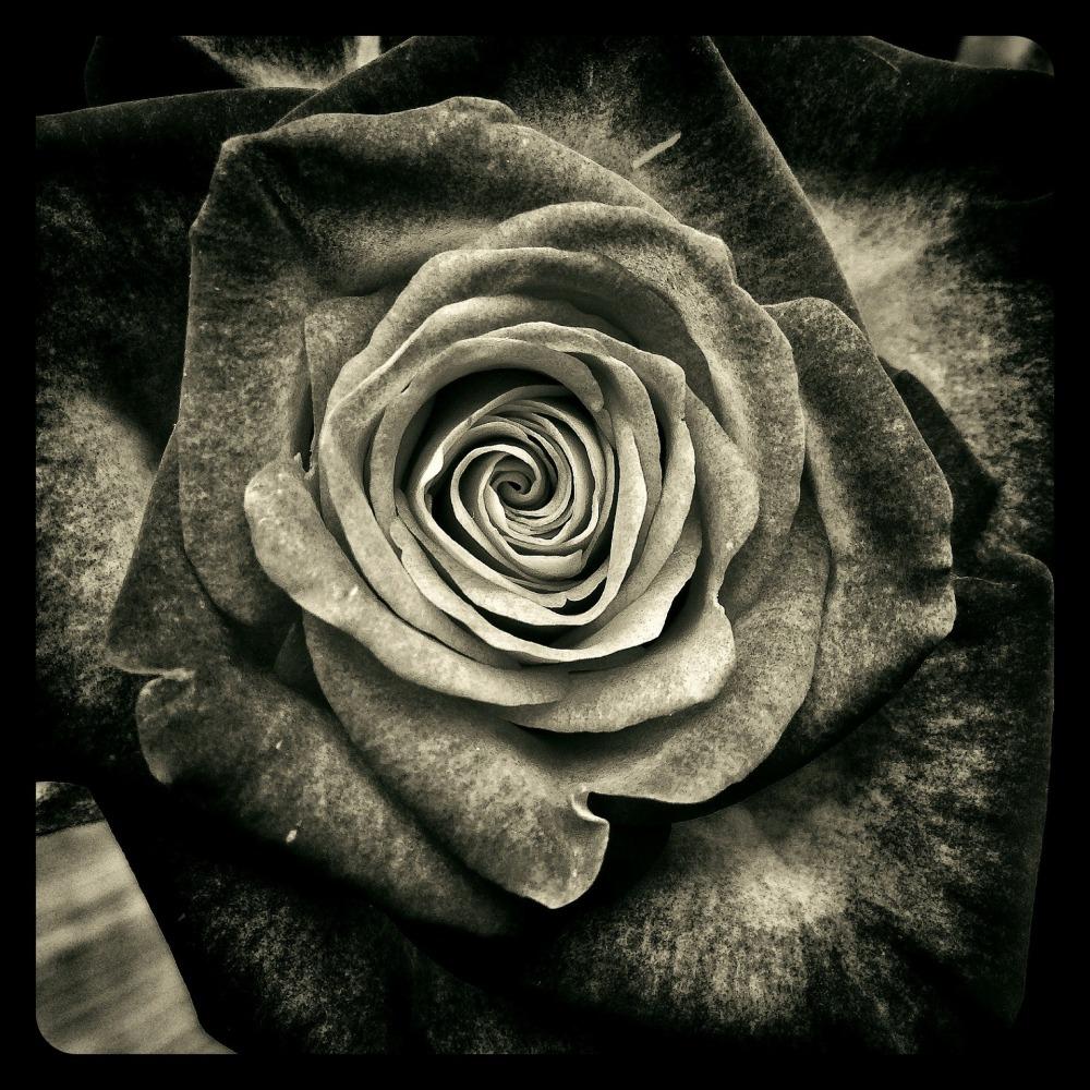 rose-123891_1920