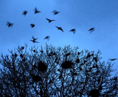 Crows in winter tree finalAA
